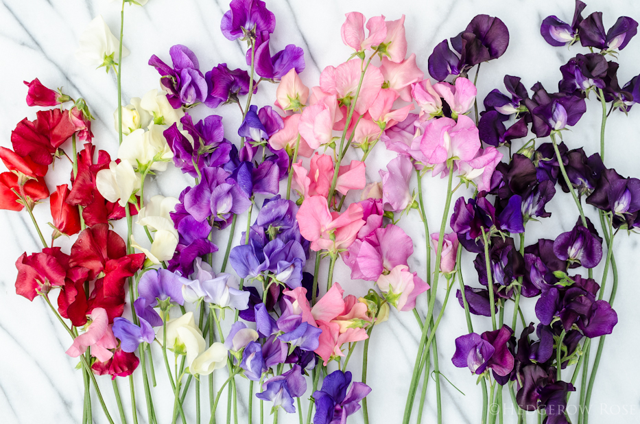 Another Sweet Pea Seeds Giveaway