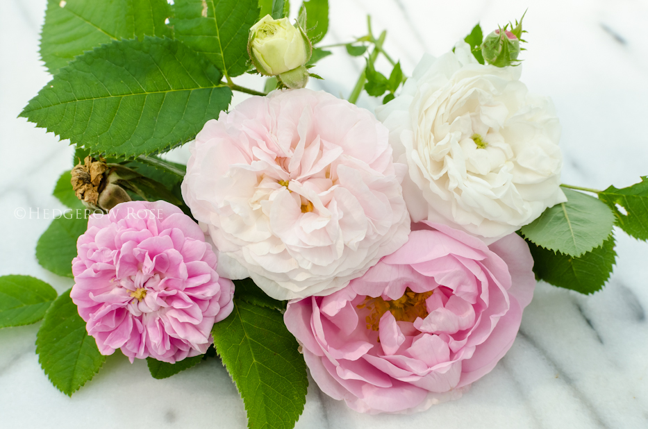 A collection of Alba Roses 1