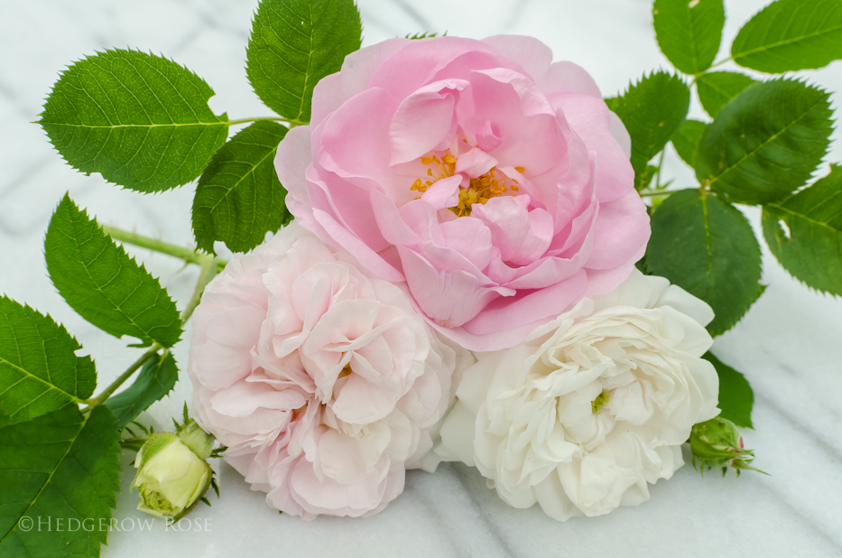 A collection of Alba roses 2