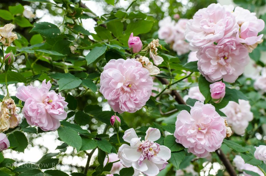 treasured_roses