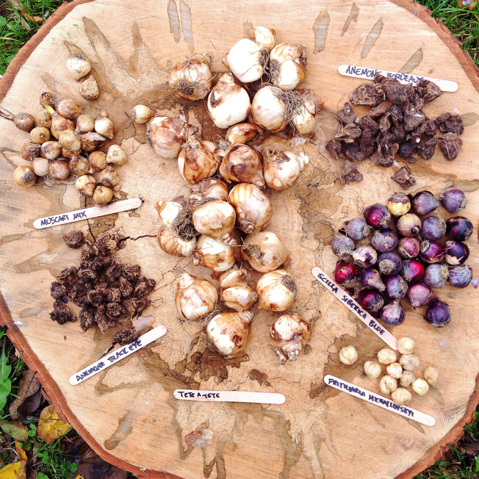 Bulbs for winter forcing