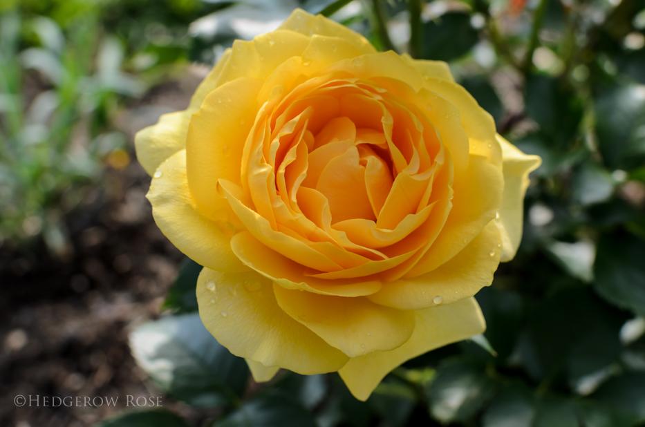 Julia Child via Hedgerow Rose - 1