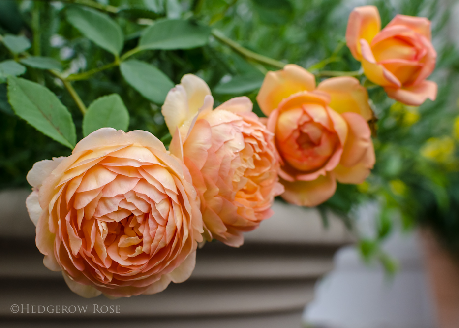 Lady of Shalott via Hedgerow Rose - 1