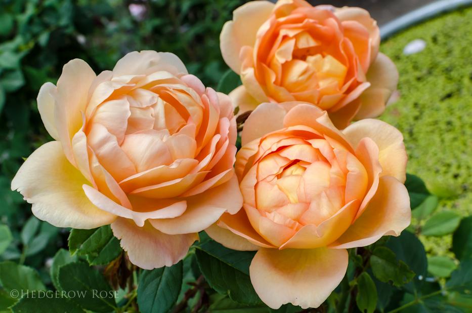 Lady of Shalott via Hedgerow Rose - 11