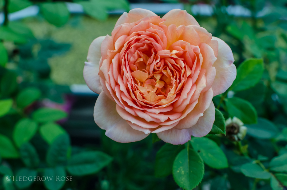 lady of shalott rose - photo #24
