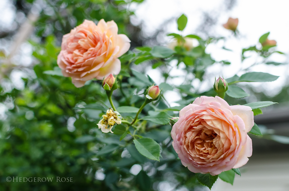 Lady of Shalott via Hedgerow Rose - 7