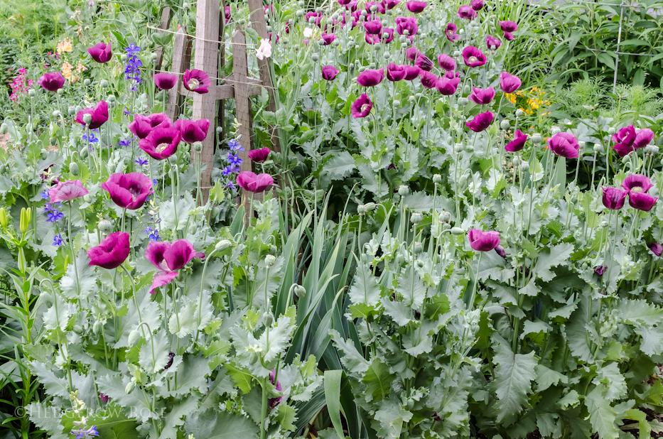 Lauren's Grape Poppy Seeds 2