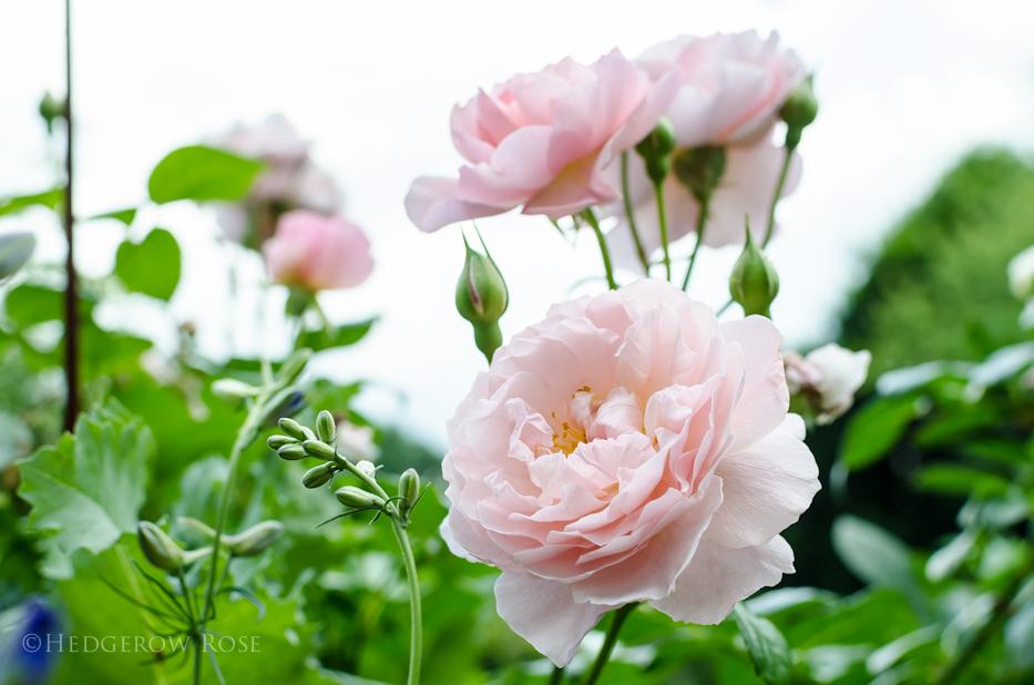 Strawberry Hill via Hedgerow Rose - 1