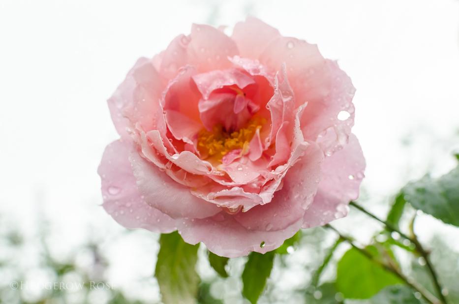 Strawberry Hill via Hedgerow Rose - 3