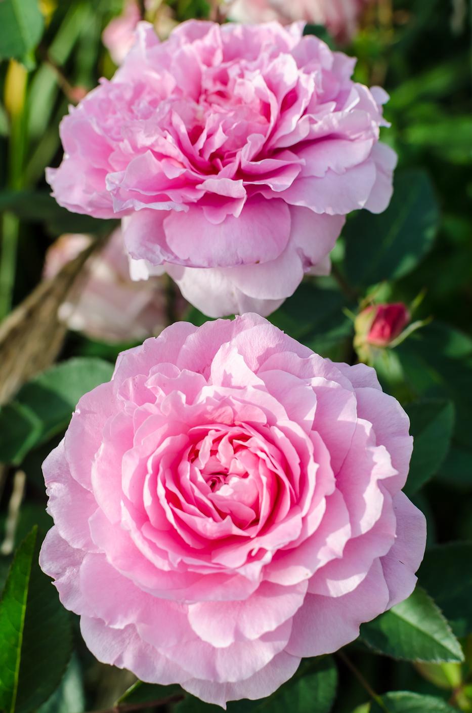 The Mayflower via Hedgerow Rose - 3