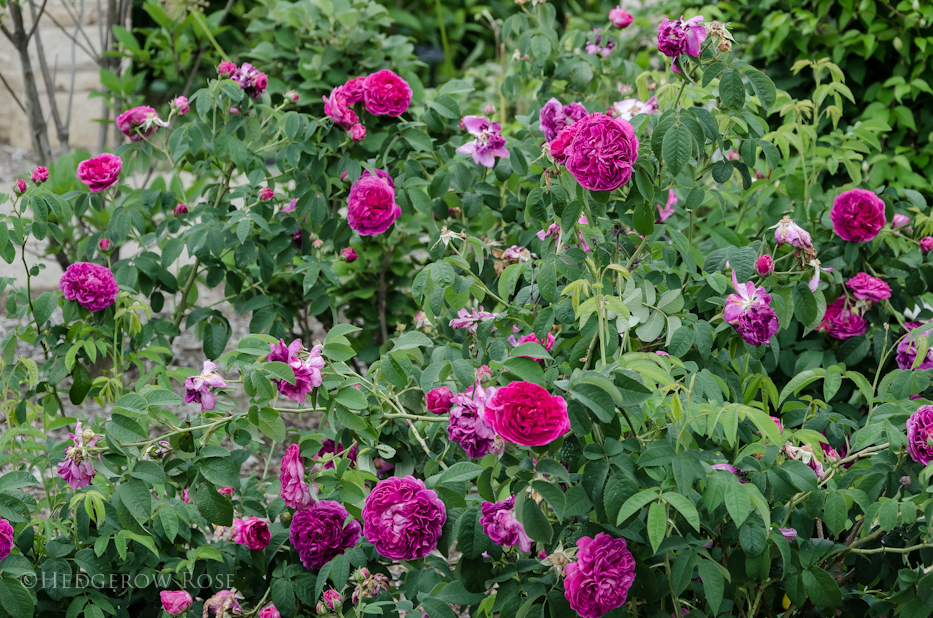 Charles de mills gallica rose for What colour roses can you get