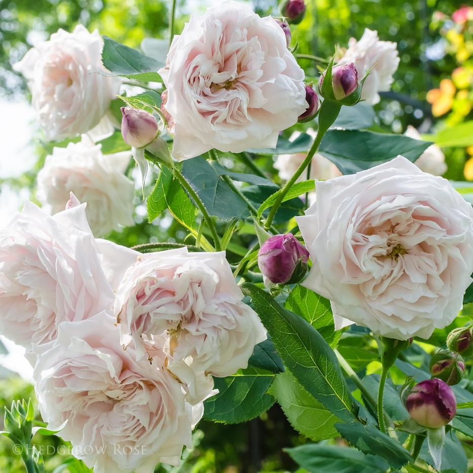 Comtesse de Rocquigny via Hedgerow Rose - 1
