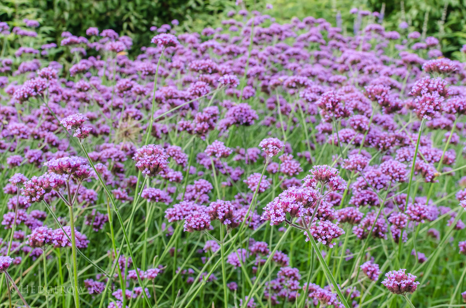 Verbena bonariensis via Hedgerow Rose