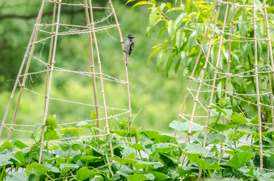 downy woodpecker and cucumber trellis