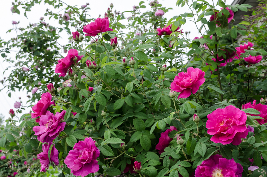 Apothecary's Rose via Hedgerow Rose - 2