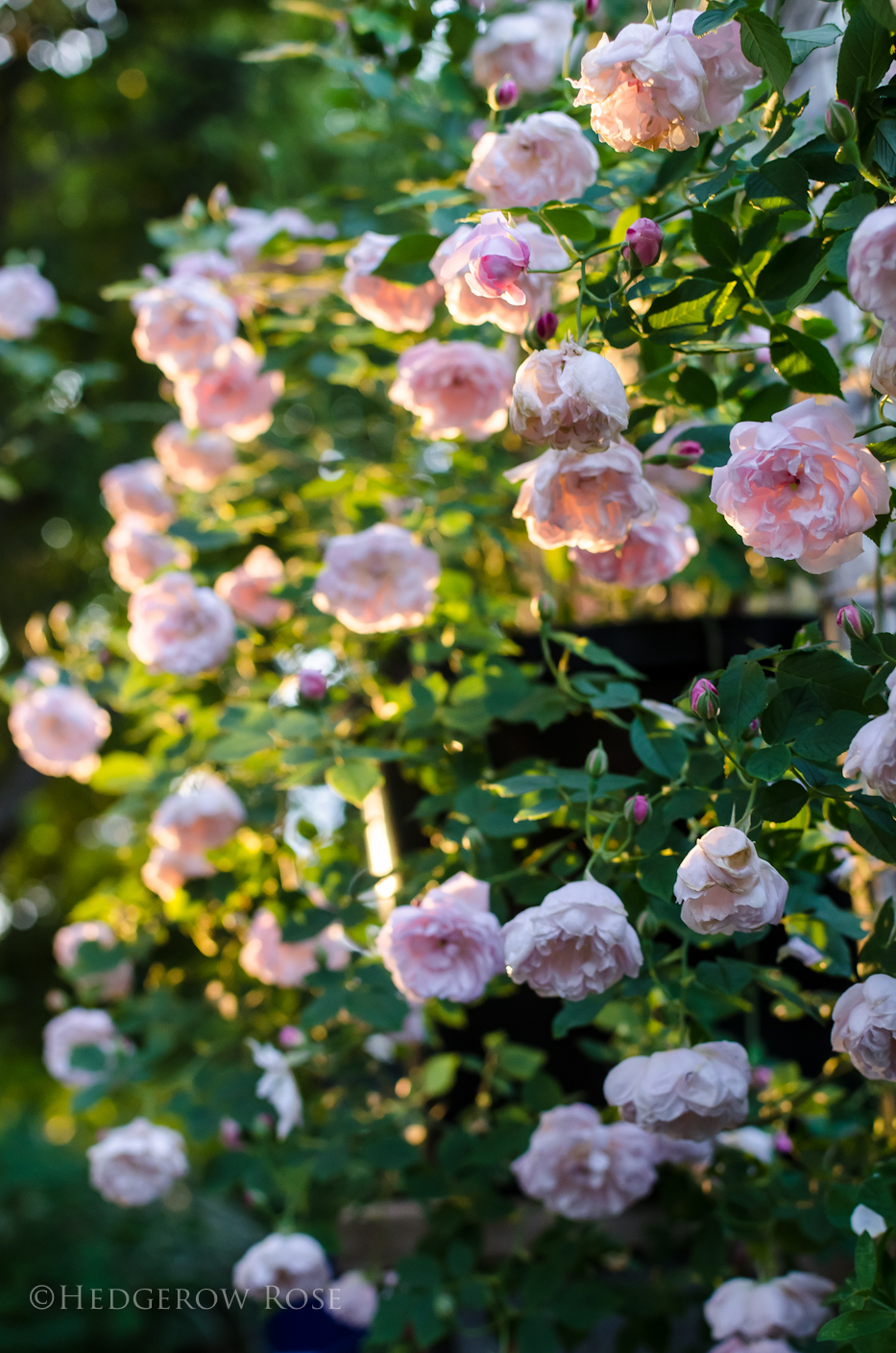 Arcata Pink Globe via Hedgerow Rose