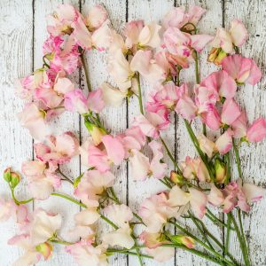 Blush Pink Sweet Peas