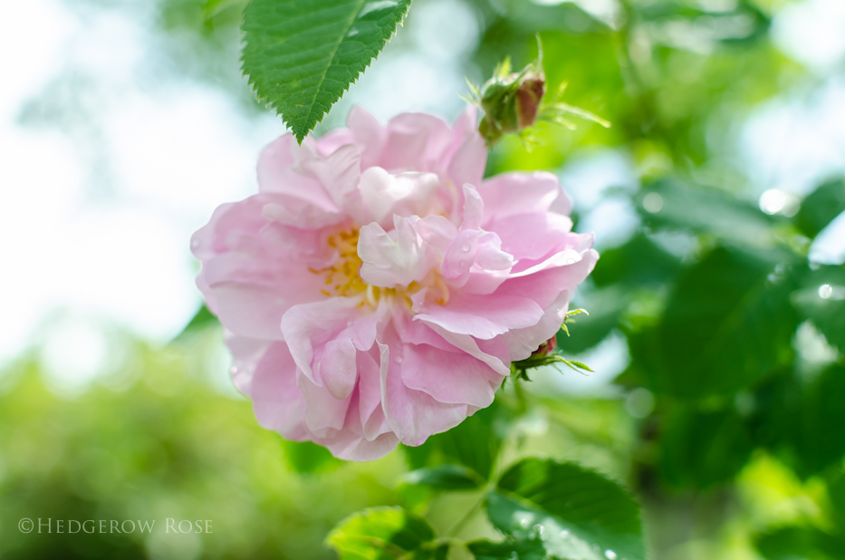 Celsiana via Hedgerow Rose 1