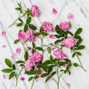 Pink and White Striped Roses Thumbnail