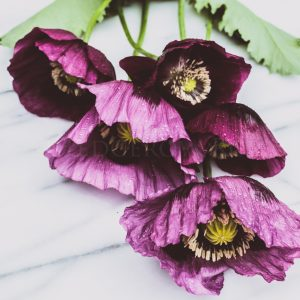 Purple Poppies Thumbnail