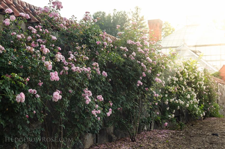 Biltmore Rose Gardens via Hedgerow Rose - 7