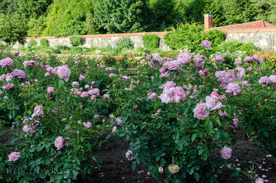 Biltmore Rose Gardens via Hedgerow Rose - 9