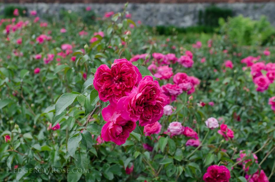 Biltmore Rose Gardens via Hedgerow Rose - Flemenco