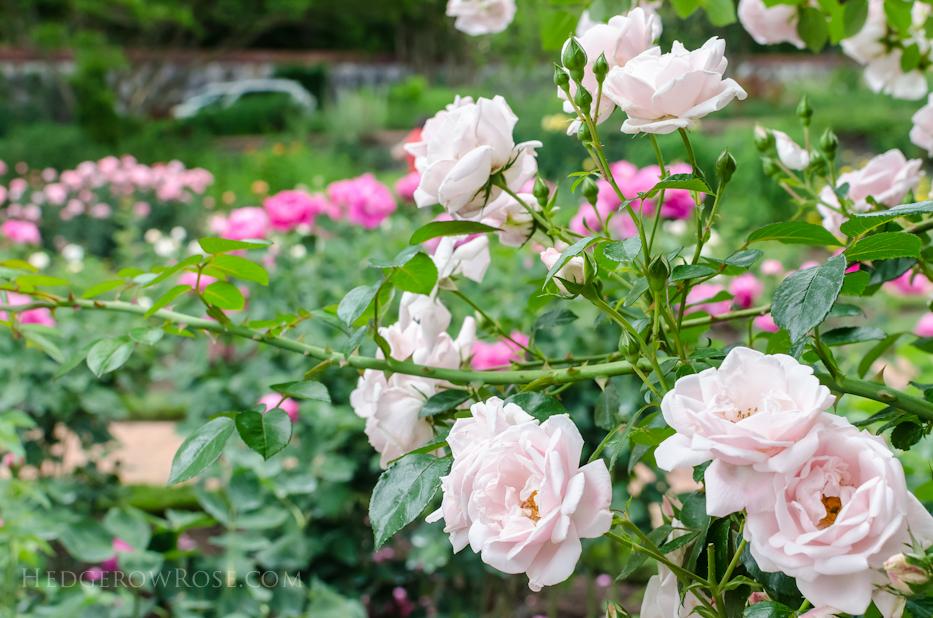 Biltmore Rose Gardens via Hedgerow Rose - New Dawn and Paul Neyron