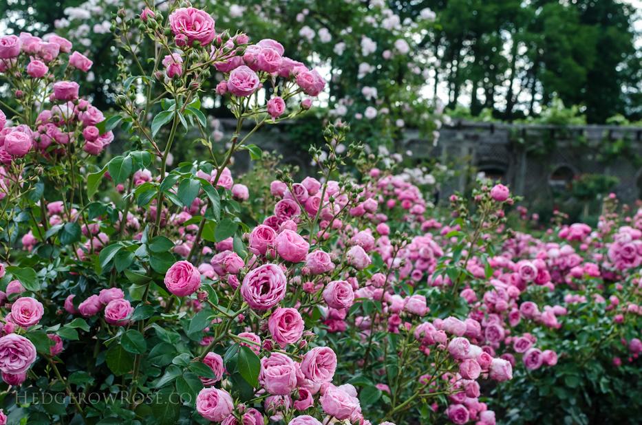 Biltmore Rose Gardens via Hedgerow Rose - Pomponella 2