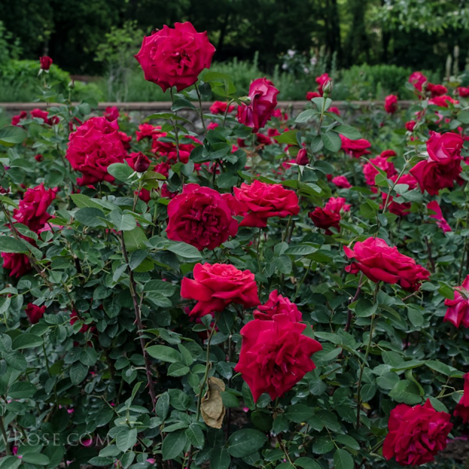 Biltmore Rose Gardens via Hedgerow Rose - Proud Land