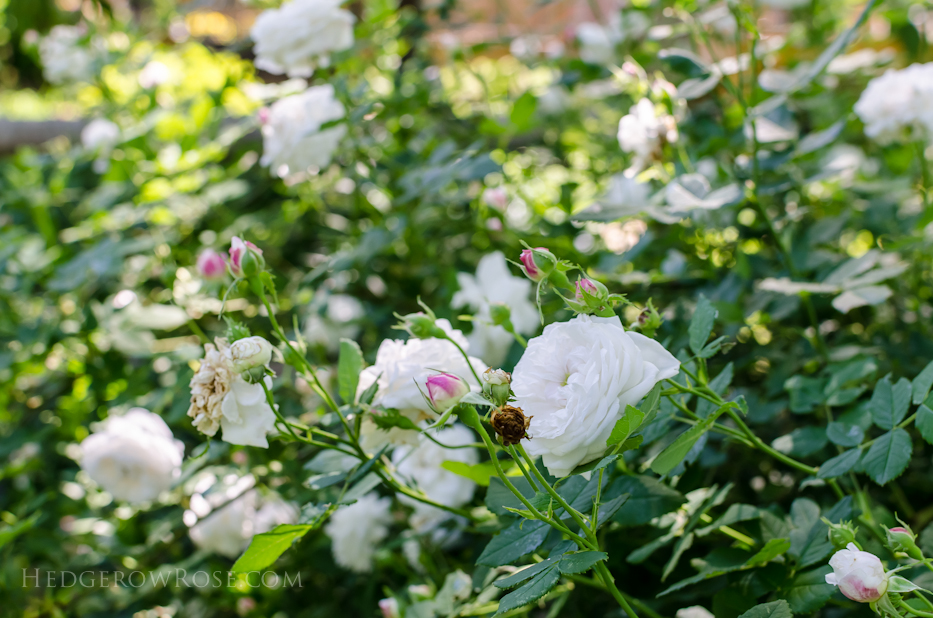 A Tale of Two Gardens via Hedgerow Rose 1