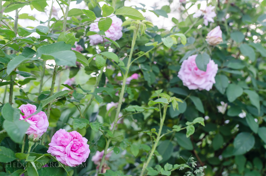 A Tale of Two Gardens via Hedgerow Rose 10