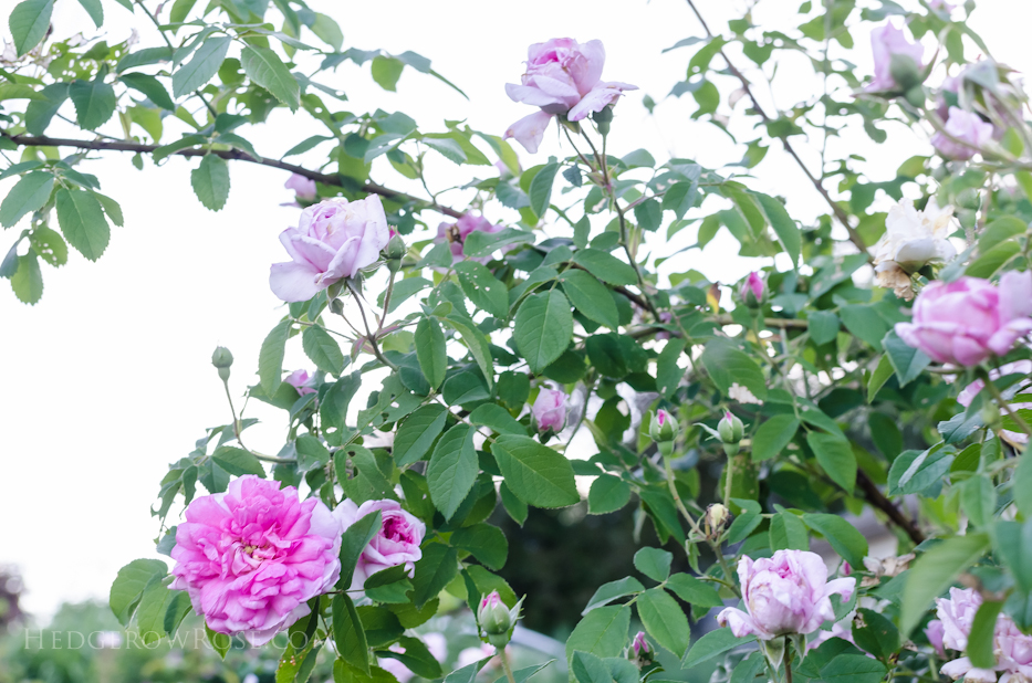 A Tale of Two Gardens via Hedgerow Rose 11