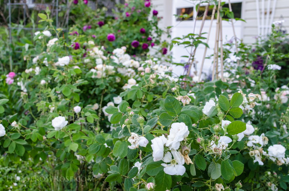 A Tale of Two Gardens via Hedgerow Rose 12