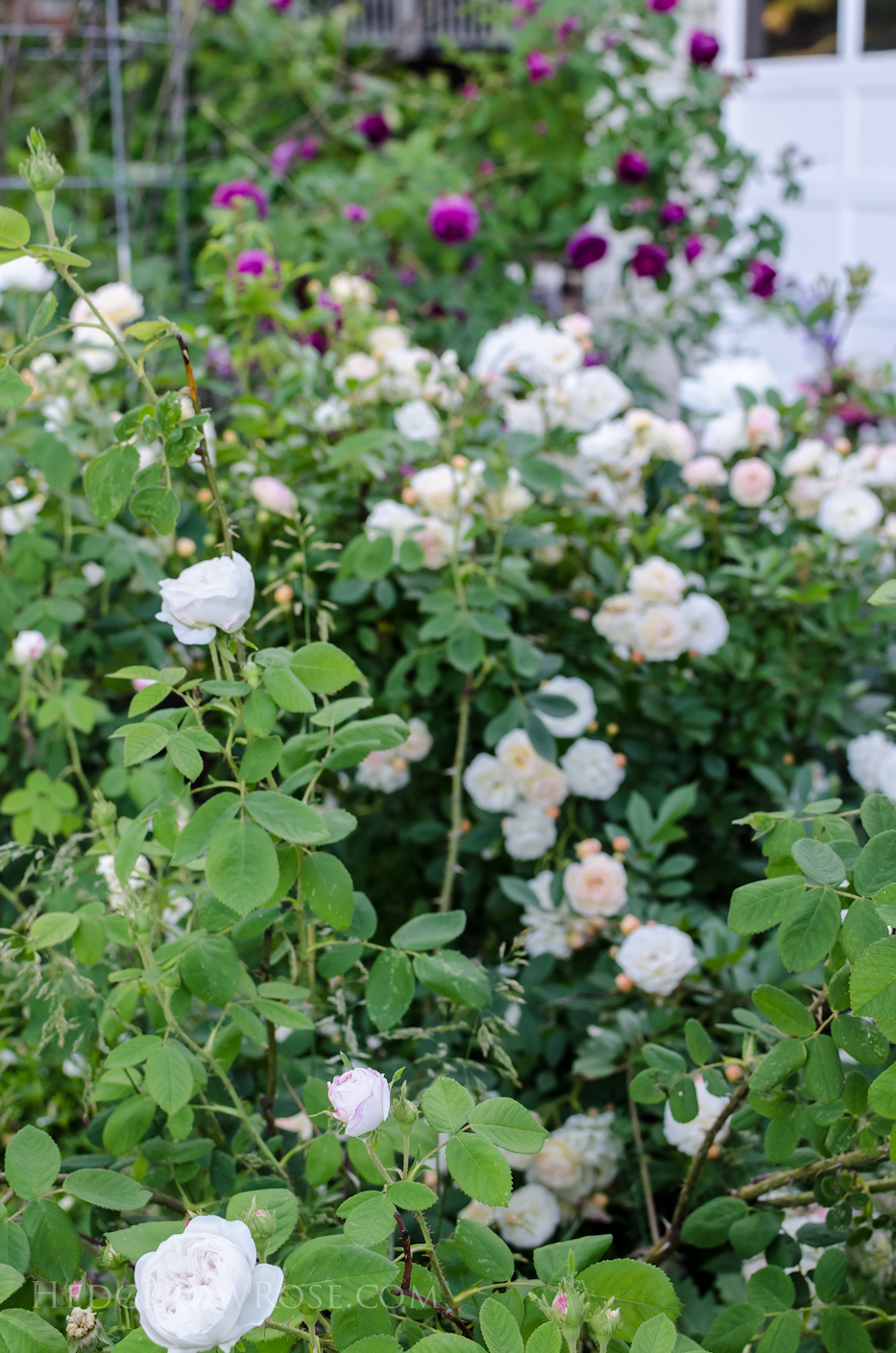 A Tale of Two Gardens via Hedgerow Rose 13