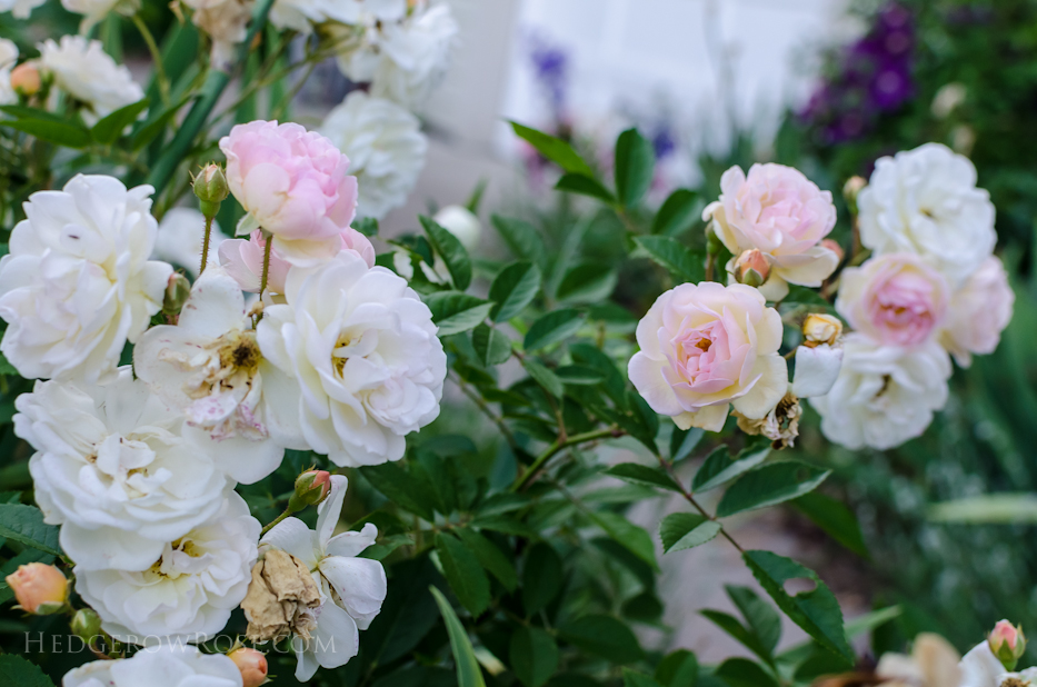 A Tale of Two Gardens via Hedgerow Rose 14
