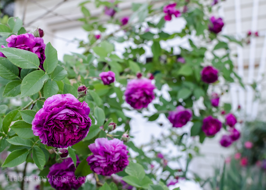 A Tale of Two Gardens via Hedgerow Rose 15