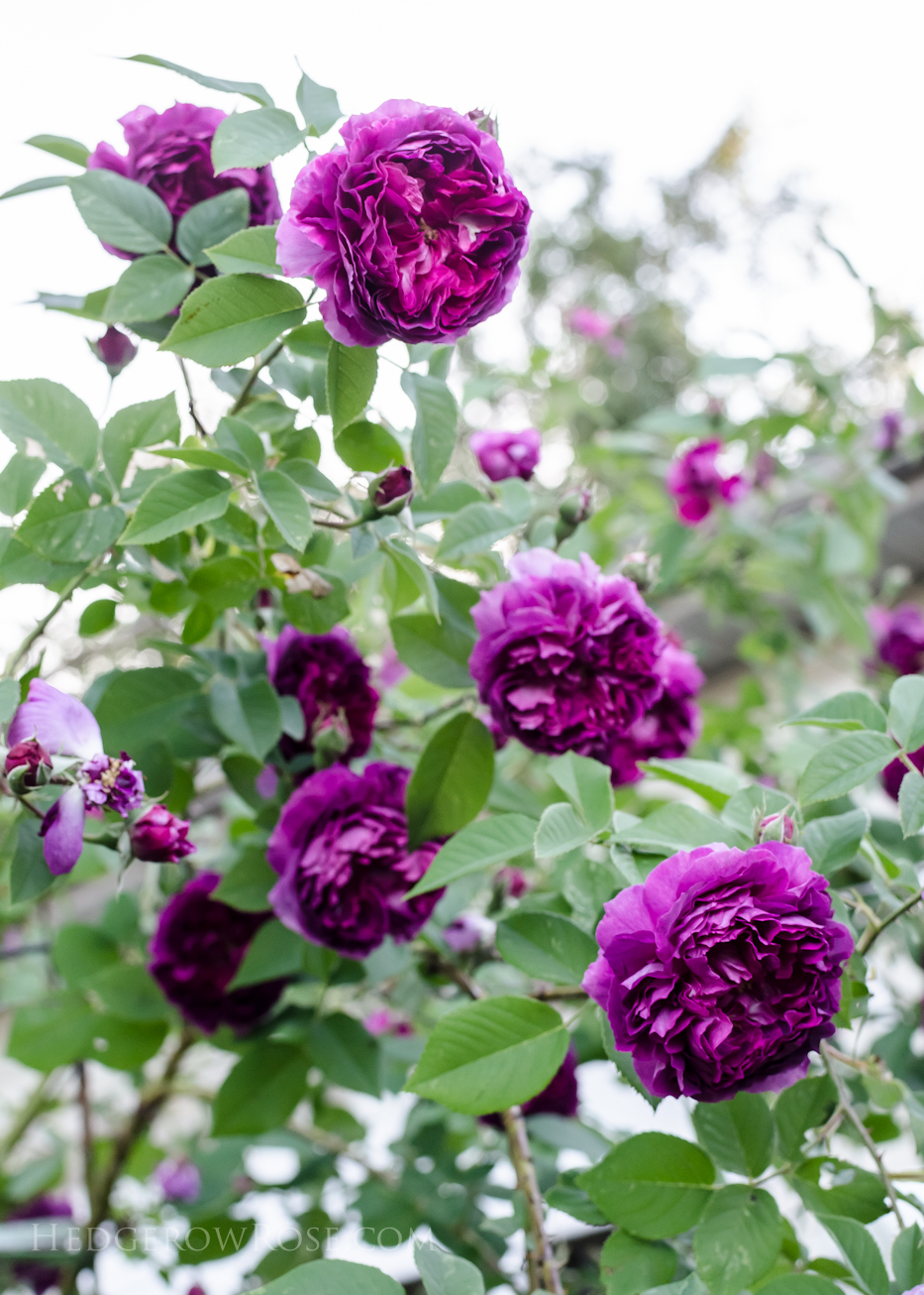 A Tale of Two Gardens via Hedgerow Rose 16