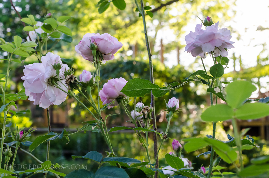 A Tale of Two Gardens via Hedgerow Rose 18