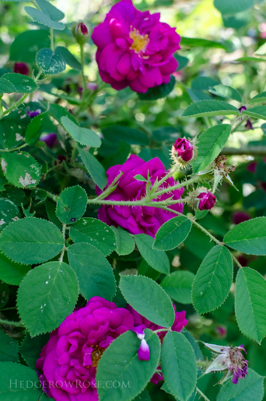 A Tale of Two Gardens via Hedgerow Rose 19