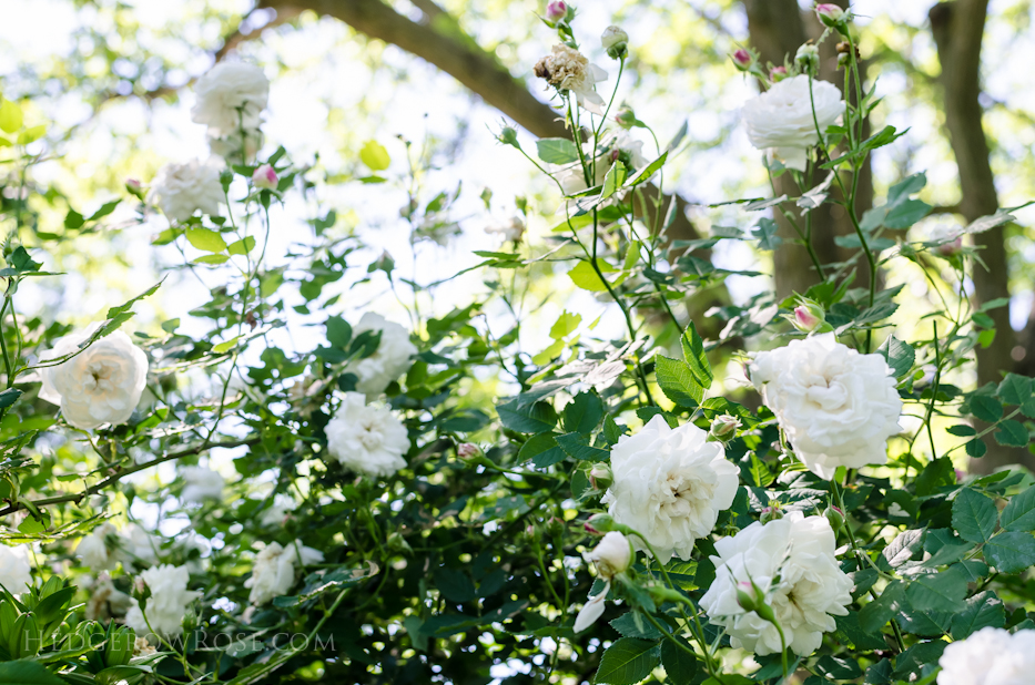 A Tale of Two Gardens via Hedgerow Rose 2