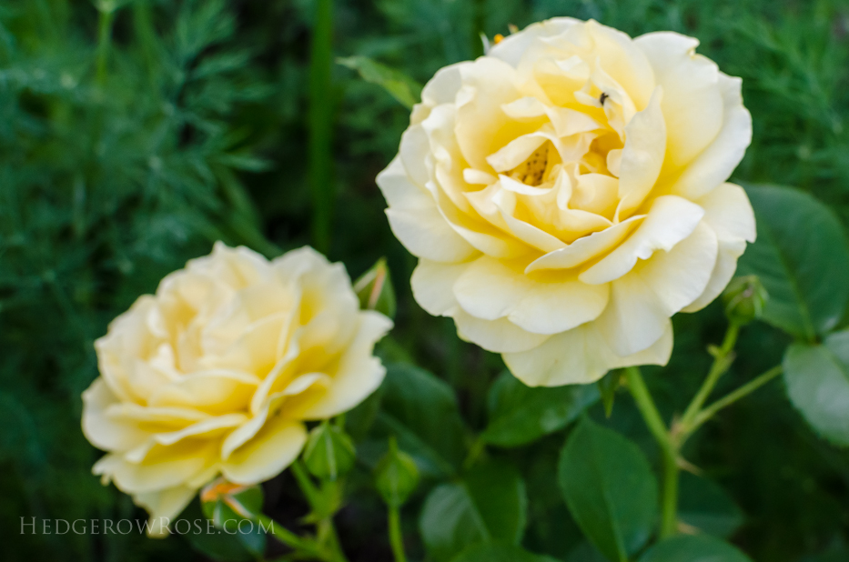 A Tale of Two Gardens via Hedgerow Rose 20