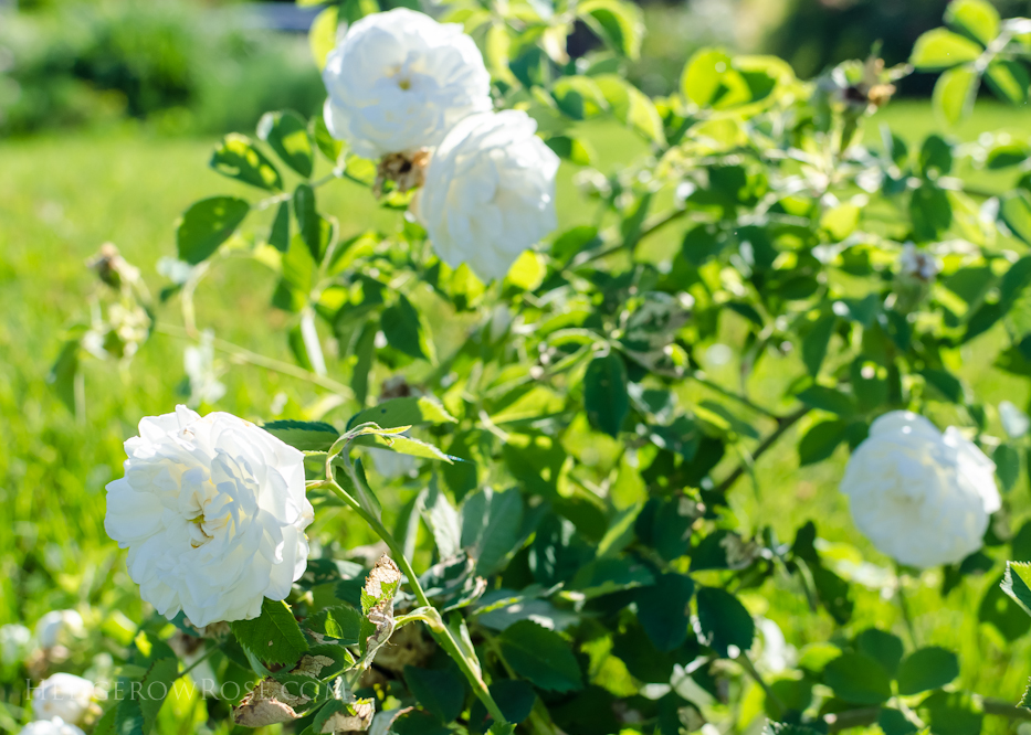 A Tale of Two Gardens via Hedgerow Rose 21