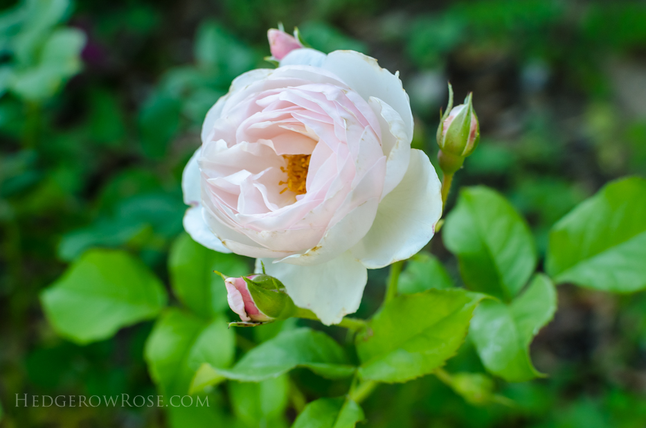 A Tale of Two Gardens via Hedgerow Rose 23