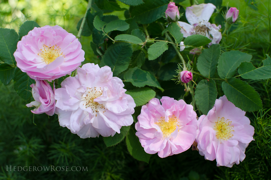 A Tale of Two Gardens via Hedgerow Rose 24