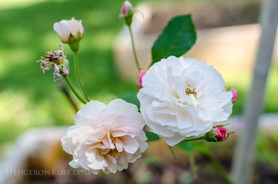 A Tale of Two Gardens via Hedgerow Rose 25