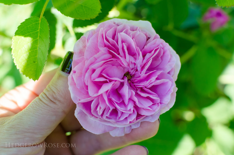 A Tale of Two Gardens via Hedgerow Rose 4