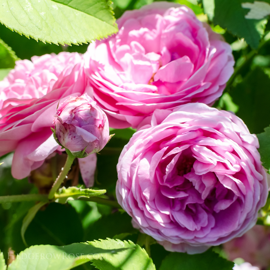 A Tale of Two Gardens via Hedgerow Rose 5