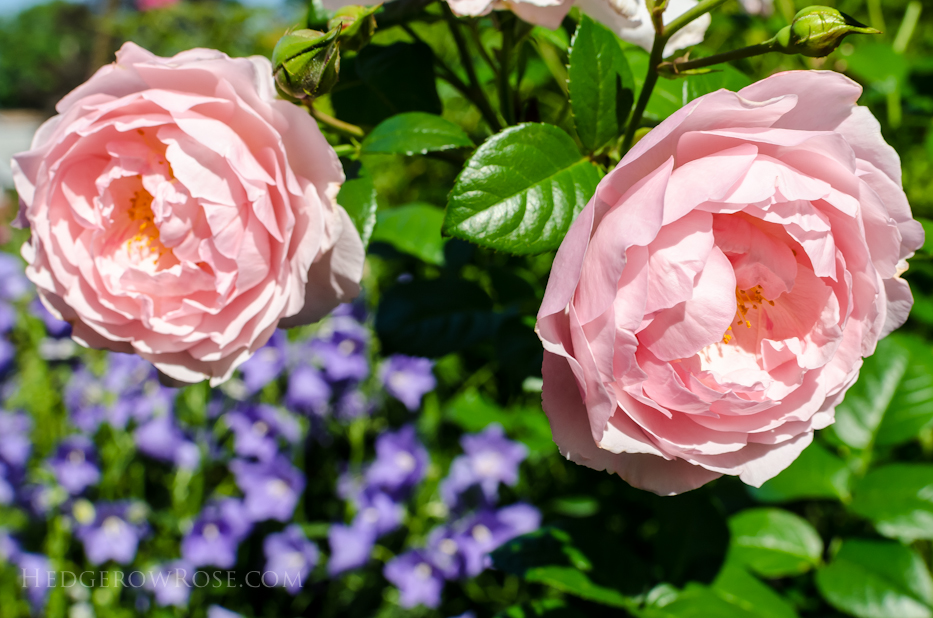 A Tale of Two Gardens via Hedgerow Rose 6