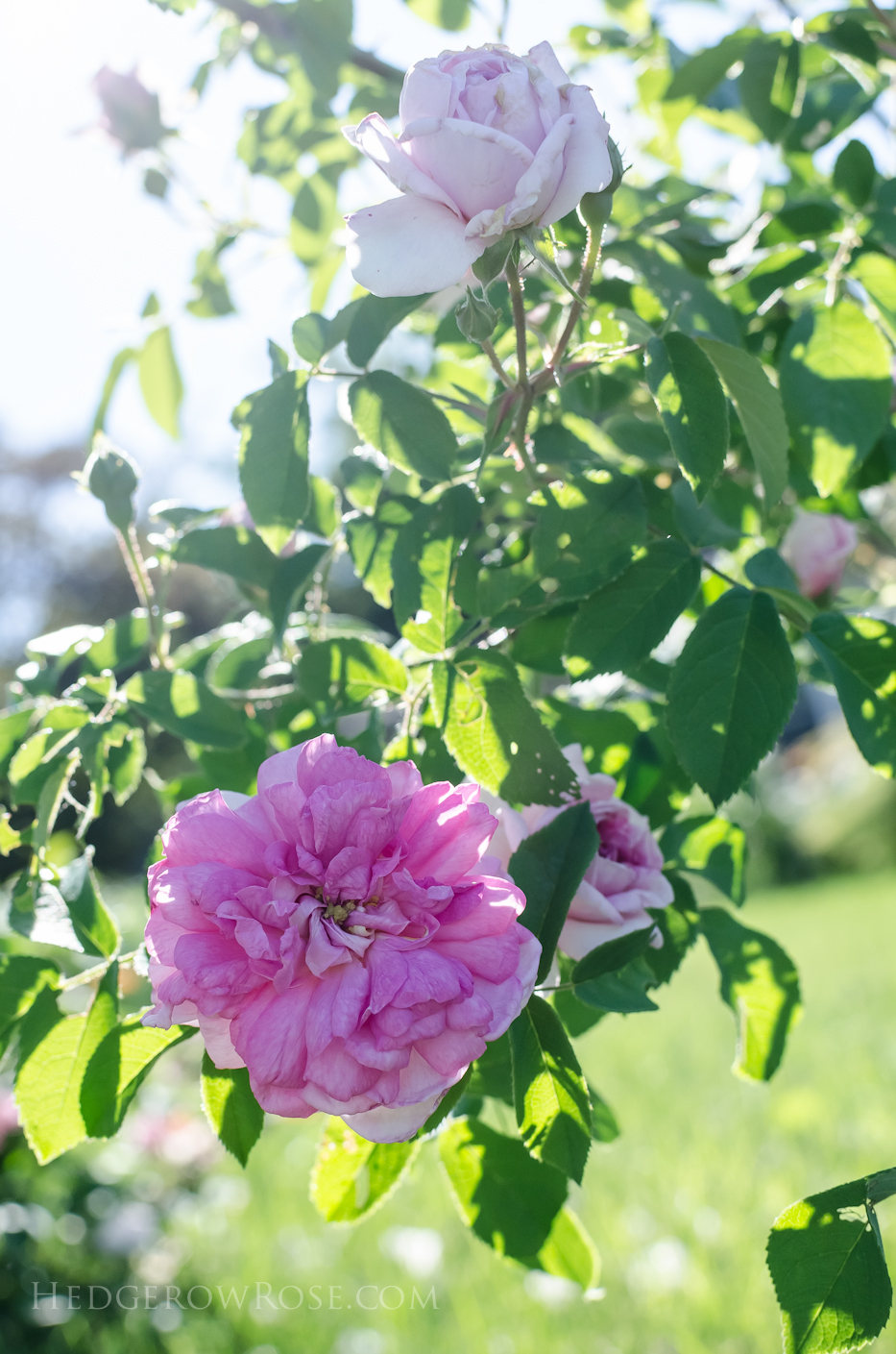 A Tale of Two Gardens via Hedgerow Rose 9
